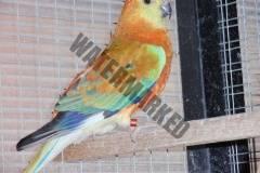 parrot_mutation277_2