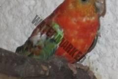 parrot_mutation74_2