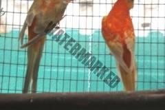 parrot_mutation79_2